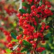 ピラカンサの赤い実がたくさん実っています。(Photo No.14093)