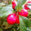 【チェッカーベリー(ヒメコウジ)】Gaultheria procumbens 実の特徴は・・・
