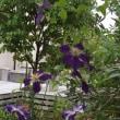 秋の花 二番手はリコリス