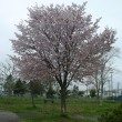 苫小牧の桜満開