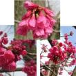 ≪カンヒザクラ・寒緋桜≫