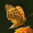 ヒョウモンアゲハ&幼虫