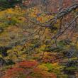 「渋柿秋景!」 いわき 夏井川渓谷にて撮影! 柿と紅葉