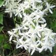 日本のクレマチス、仙人草