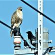 今日の野鳥   ノスリ  ・  写真展のご案内