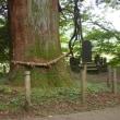 福島県白河市、白河の関従二位の杉です!!