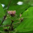 ムラサキシキブ開花
