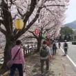 桜ウォークに行きました