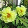 黄色いボタン(牡丹)の花