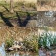 お池のカモさん風景