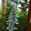 ヒスイカズラ:翡翠蔓(珍しい翡翠色の花)
