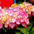 梅雨の花の紫陽花