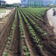 ジャガイモ芋掘り体験用の畑