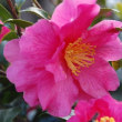 季節の花「寒椿」