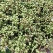 実山椒の収穫~♪