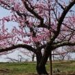 甲州の春 さくらと桃と…