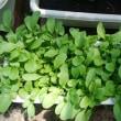 プランター栽培のレタスを収穫