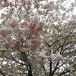 造幣局の桜の通り抜け♪