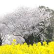 庄内緑地の桜