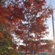 ノムラモミジの紅葉