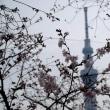 2018年3月19日の隅田川の桜