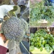 野菜の収穫&追肥