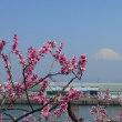 囲碁と富士山と田子の浦の桜
