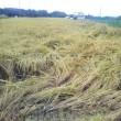 近年、田んぼにイノシシ被害。