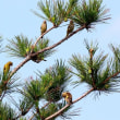 7/19探鳥記録写真-2(はまゆう公園の鳥たち:カワラヒワ、ホオジロ)