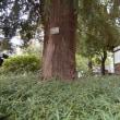 樹齢750年を超える「かやの木」
