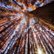 超広角10ミリレンズで撮ったメタセコイアの森 その2(水元公園)