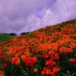 箱館山ゆり園探訪
