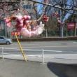 近所で サクラが咲いています! ソメイヨシノではありませんが・・