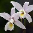 蘭の花色々(Ⅱ)