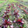 寒風、畑は次の季節へ。