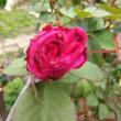春イチバンに咲いた薔薇 国色天香