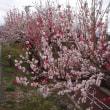 ハナモモが咲いています