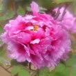 牡丹の花2・・・【いな】