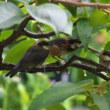 雛のシーズン(身近な野鳥の雛)