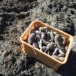 掘り残しのサツマイモ収穫兼耕運