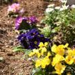 梅干しの種からお花が咲きました - 我が家の庭(千葉県白井市)