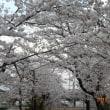 桜が満開となりました。