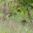 キジの若鳥集団