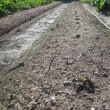 里芋の試し掘り