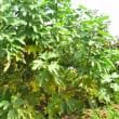 イチジク「日本早生種」の収穫