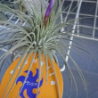 マグヌシアーナ、開花