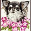 色鉛筆画378 (ニチニチソウと犬)