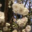 キクザキオクチョウジザクラの花は