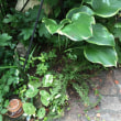 昔ながらの 植物