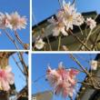 冬桜が・・・
